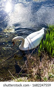 A beautiful white lonely swan in Saint Georges lake in Copenhagen with some trash in the lake and sunny day
