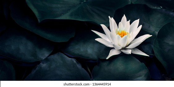 Beautiful white lotus flower closeup. Exotic water lily flower on dark green leaves. Fine art minimal concept nature background. Wellness and spa relax concept. Tropical landscape wallpaper design.