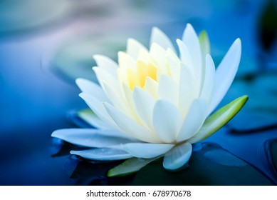 beautiful  White Lotus Flower with green leaf in in pond