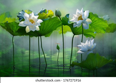 Beautiful white lotus flower in the lake and lotus flower plants, pure white lotus flower.