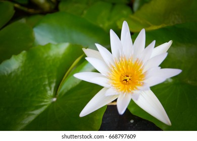 beautiful white lotus with green leave