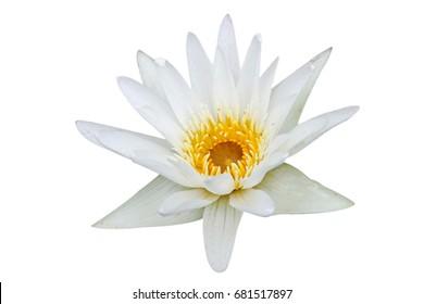 Beautiful white lotus on a white background.