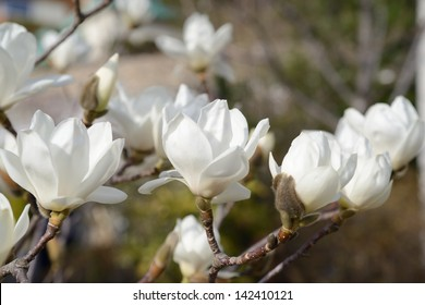 a beautiful white magnolia flower with fresh odor