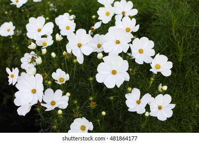 Beautiful white mexican aster or Cosmos flowers