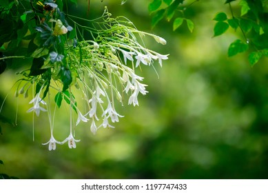 Beautiful White Millingtonia Hortensis Flowers On Tree With Nature Background, Indian Cork Flowers Hanging On Tree, Forest Background