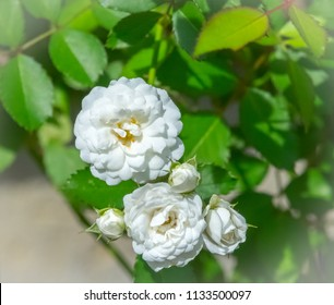 Beautiful white mini landscape roses