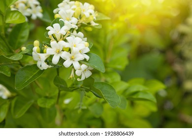 Beautiful white Murraya flowers blooming and fragrant in garden nature background