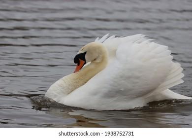 A Beautiful  White Mute Swan
