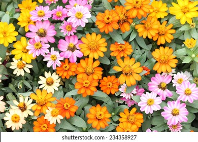 Beautiful white Narrowleaf Zinnia or Classic Zinnia flowers, background.