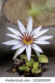 Beautiful white nenuphar flower or also called European white water lily in a lagoon