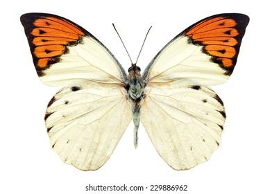 Beautiful white and orange butterfly (Great Orange Tip, Hebomoia glaucippe) isolated on white background.