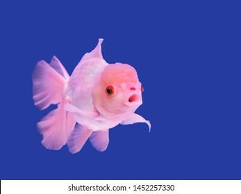 Oranda Goldfish Images, Stock Photos & Vectors   Shutterstock