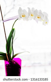 Beautiful white orchid in bright flower pot