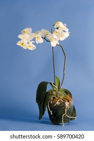 Beautiful white orchid flower in a glass pot against blue background