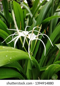 A beautiful white orchid flower that looks like a spider. Found in the orchid gardens in Singapore.