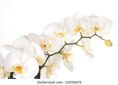 Beautiful white orchid flowers