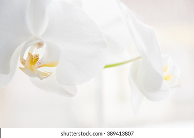 Beautiful white orchid flowers close up image with yellow pistils on isolated white backround