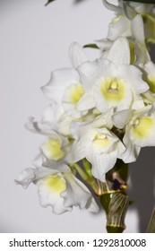 beautiful white orchid flowers - Dendrobium nobile