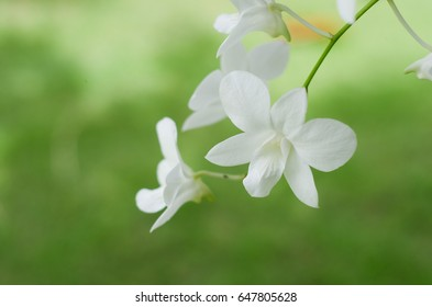 beautiful  white orchid flowers on green garden background