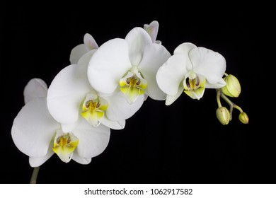 Beautiful white orchid on a black background