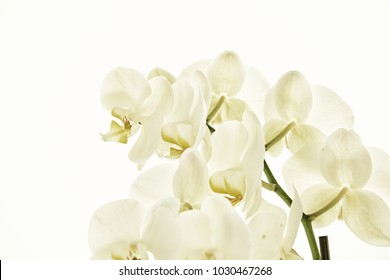 beautiful white orchid twig on a white background in the illuminated summer sun
