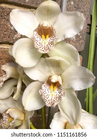 Beautiful white Orchids growing against brick wall