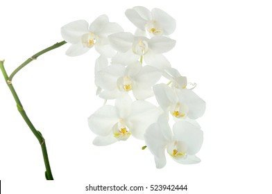beautiful white orchids, isolated on white background