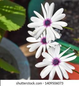 Beautiful white Osteospermum Flowers at gayatri ashram in haridwar.