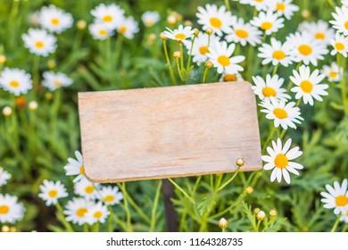 Beautiful white ox-eye daisy flowers (Leucanthemum vulgare) on flowerbed. Leucanthemum vulgare, the ox-eye daisy, or oxeye daisy, is a widespread flowering plant native to Europe.