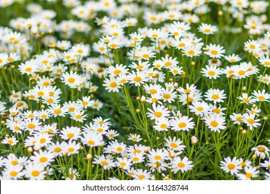 Beautiful white ox-eye daisy flowers (Leucanthemum vulgare) on flowerbed. Leucanthemum vulgare, the ox-eye daisy, or oxeye daisy, is a widespread flowering plant native to Europe.