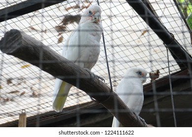 Beautiful white parrots are hanging on in the tree branch that placed inside the metal cage