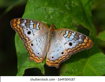 A beautiful white peacock butterfly (Anartia jatrophae) rests on a large green leaf