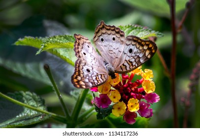A beautiful white peacock butterfly in a pretty garden enjoying a delicious flower