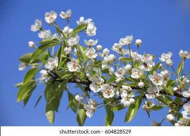 Beautiful white pear flowers on blue sky background.