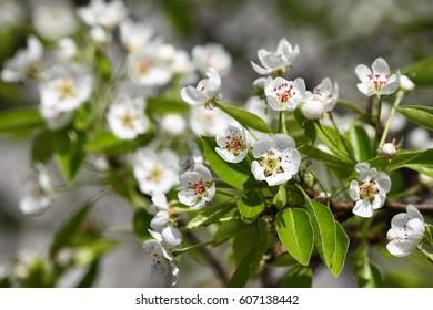 Beautiful white pear tree flowers.