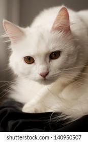Beautiful white persian cat