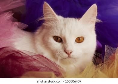 Beautiful white Persian cat peeking