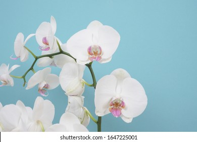 Beautiful white phalaenopsis orchid flowers. Tropical flower, orchid branch close-up. White orchid background. Holiday, Women's Day, flower card, beauty