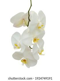 beautiful white Phalaenopsis orchid flowers, isolated on white background