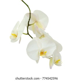 beautiful white phalaenopsis orchid flowers, isolated on white background