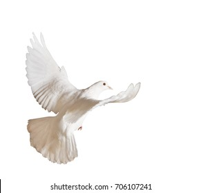 Beautiful white pigeon on a white background