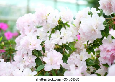 Beautiful white and pink  azalea flowers closeup with dotted petals