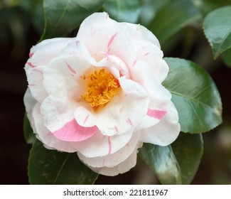 Beautiful white and pink striped flower and glossy leaves of Camellia japonica 'Tricolor' in spring