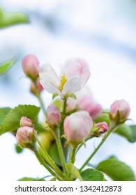 beautiful white and pink tender flowers of apple on a light background in the morning in the garden