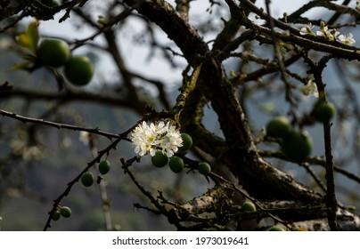 Beautiful white plum flowers in Naka Plums Valley in Moc Chau, Vietnam
