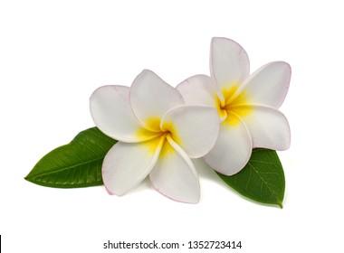 beautiful white plumeria rubra flower isolated on White background
