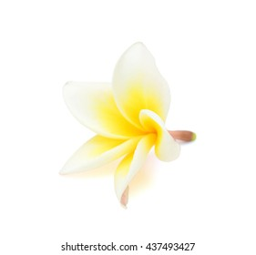beautiful white plumeria rubra flower