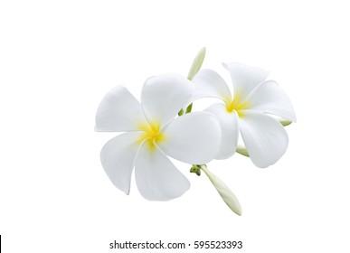 beautiful white plumeria rubra flowers isolated on White background