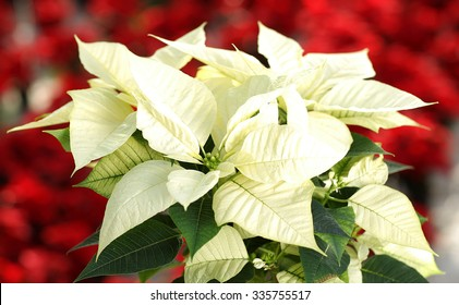 Beautiful white poinsettia - Christmas flower