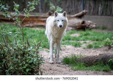 Beautiful White Polar Wolf